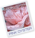 Pink Oyster- Edible Culture