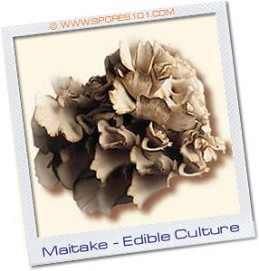 Maitake  - Edible Culture