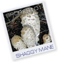 Shaggy Mane - Edible Culture