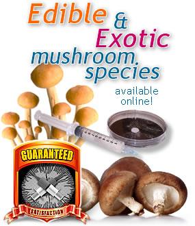 Psilocybe Cubensis Mushroom Strains