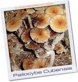 Palanque Psilocybe Cubensis